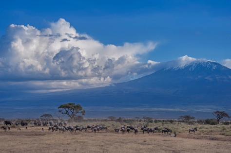 Herds of animals in front of Mt. Kilimanjaro, Amboseli National Park, Kenya, East Africa