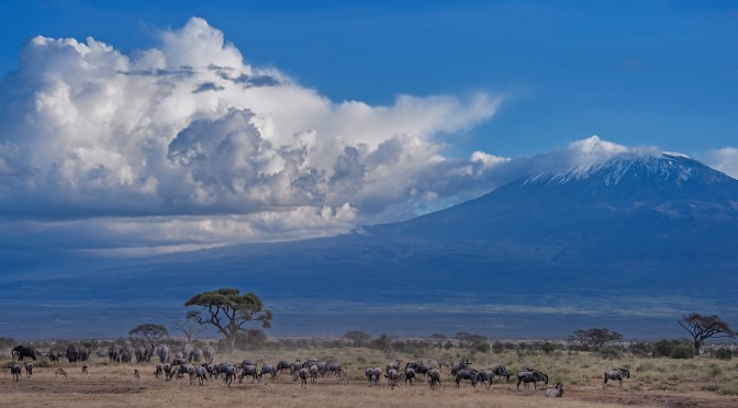 Herds at Mt. Kilimanjaro