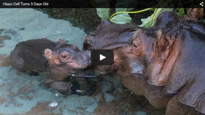 Week-Old Baby Hippo and Its Mom at the San Diego Zoo