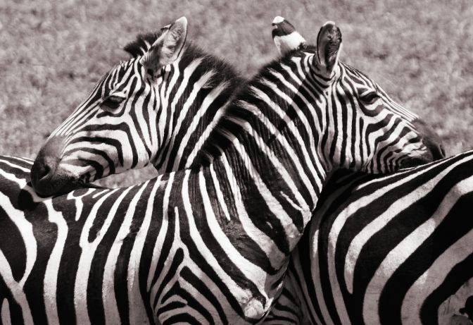Zebra Affection
