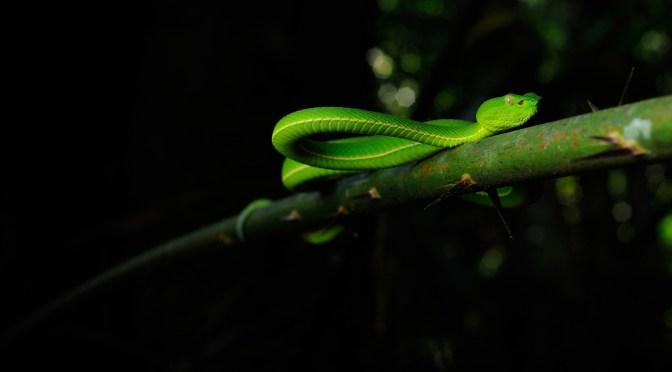 A Green Venomous Vogel's Pit Viper