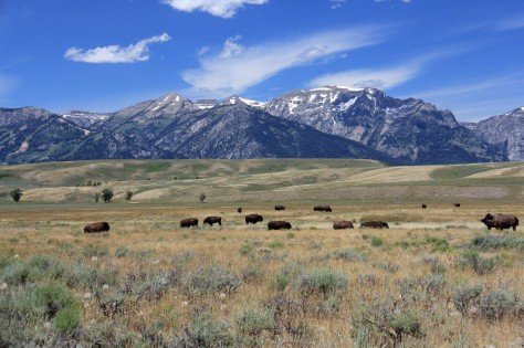 American Bison Roam the Grasses of Wyoming