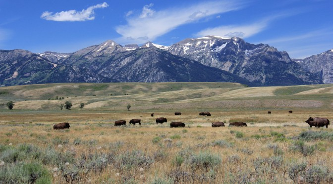 American Bison Roam the Wyoming Grasslands