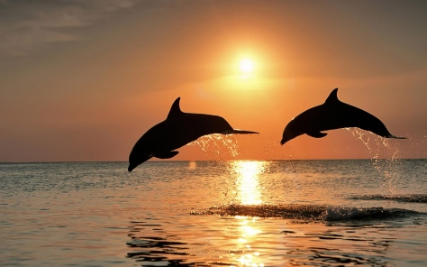 Bottlenose Dolphins Jumping in the Sunset