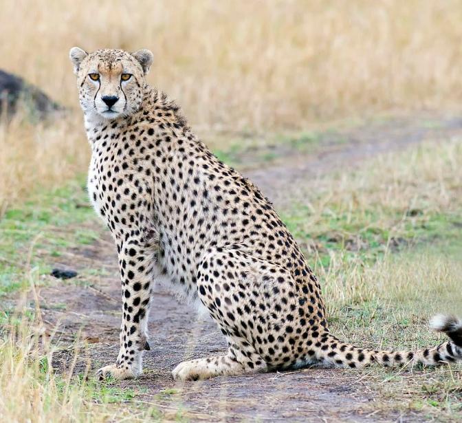 The Gaze of a Cheetah