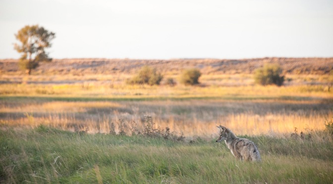 Coyote Hunting For Breakfast