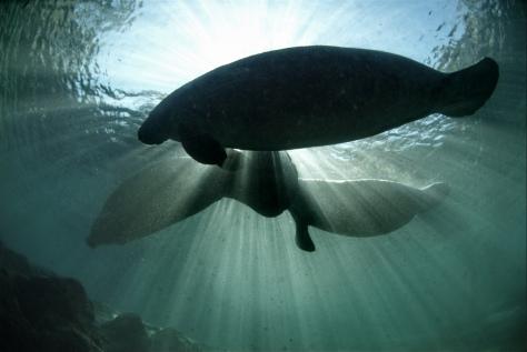 Endangered Florida Manatee