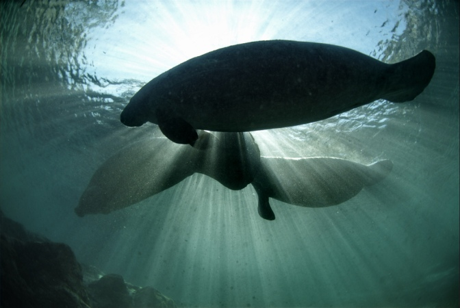 Endangered Florida Manatee
