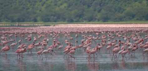 Flamingos on Lake Nakuru, Kenya