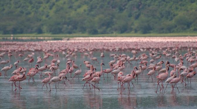 Flamingos on Lake Nakuru, Kenya
