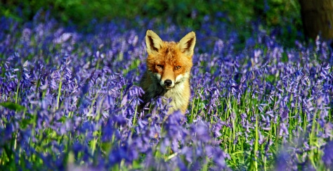 Fox in the Bluebells