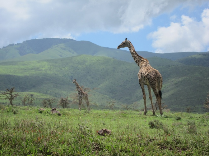 Giraffes in Tanzania
