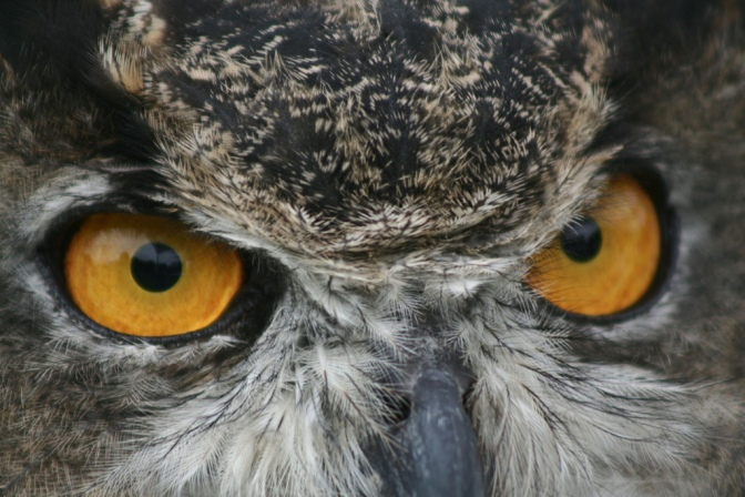 Glowing Eyes of a Great Horned Owl
