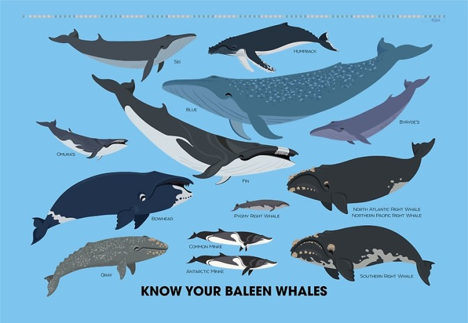 Know Your Baleen Whales!