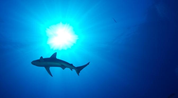 Kronos Reef Shark