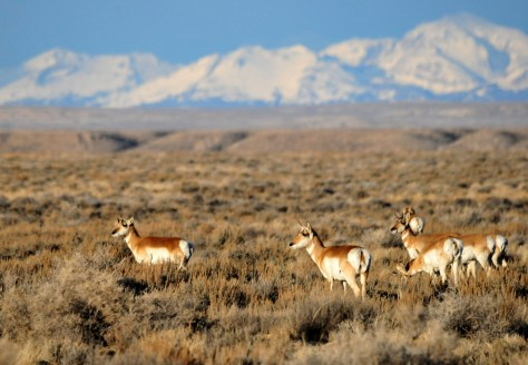 Pronghorn Antelope at Wind River Mountain Range