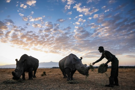 Ranger and caretaker Mohammed Doyo feeds Najin (center), a 25-year-old female northern white rhinoceros, and her companion.