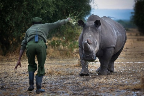 Ranger and caretaker Mohammed Doyo gesturing to a southern white rhino.