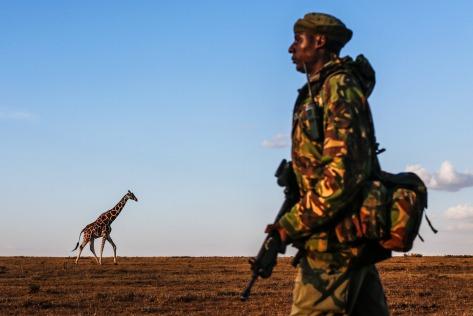 A giraffe walks in the distance at Ol Pejeta Conservancy as a ranger patrols on foot.