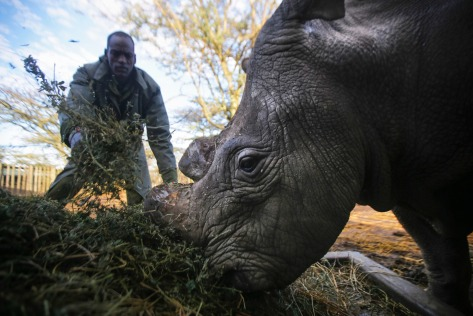 Last remaining male Northern White Rhino named Sudan feeding at Ol Pejeta.
