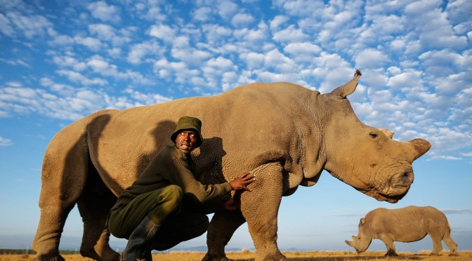 Rangers Are Protecting the Last Remaining Male Northern White Rhino in the World