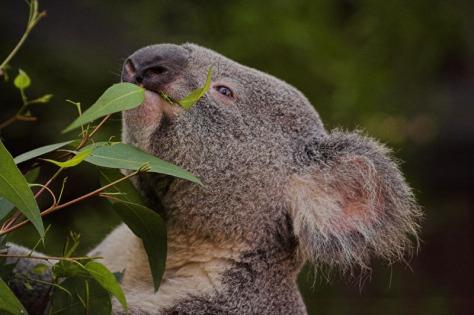 Snacking Koala