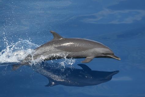 Speedy Dolphin