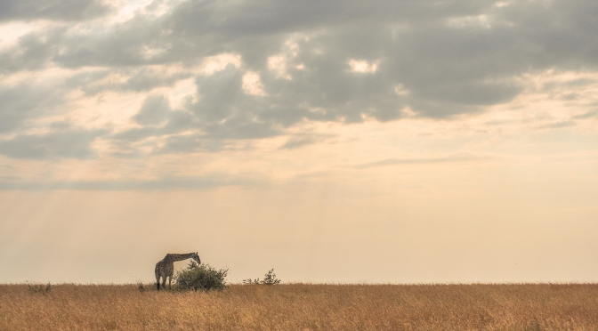 A Giraffe in the Serengeti Sunrise
