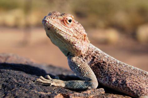A Lizard in the Namibia Desert
