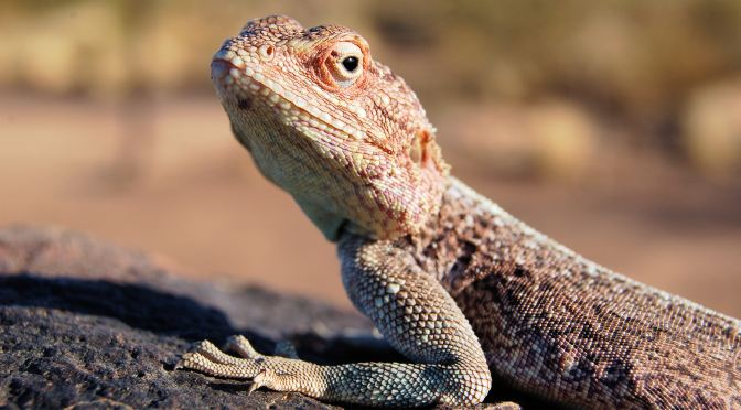 A Lizard in Southern Namibia