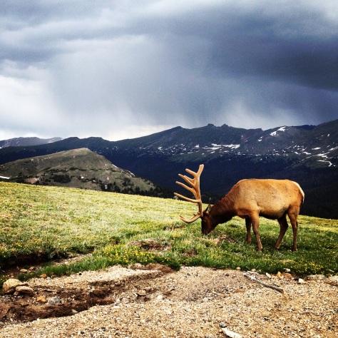 An Elk Grazing in the Rockies