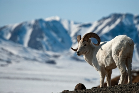 Dall Sheep in the Mountains