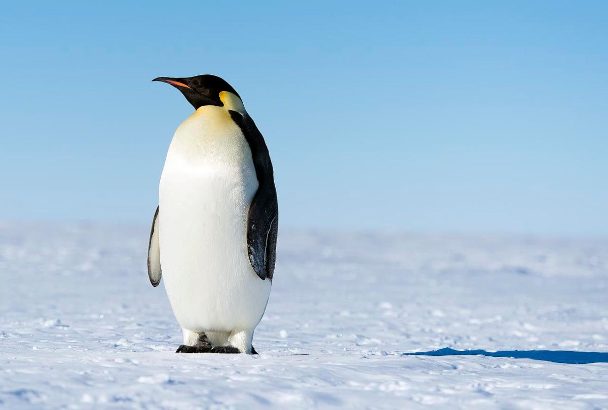 Emperor Penguin in the South Pole