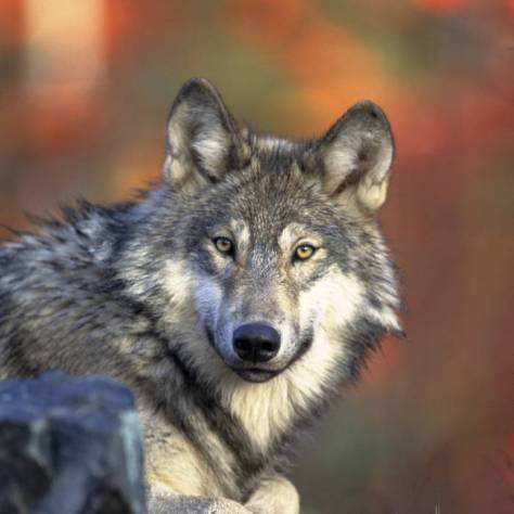 Endangered Gray Wolf
