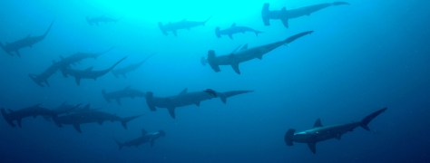 Hammerhead Sharks By the Numbers