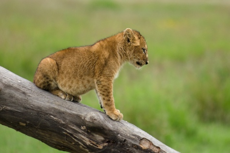 Lion Cub at Serengeti