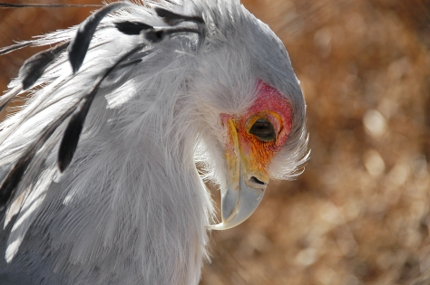 Secretarybird in South Africa