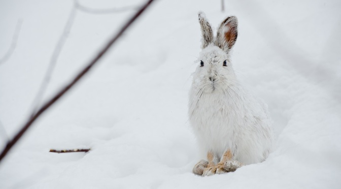 Snowshoe Hare in Camouflage