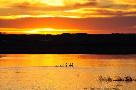 Trumpeter Swans at Sunset