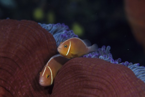 Two Fish Snuggle into the Coral