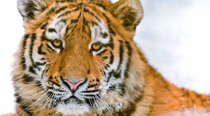 Amur Tiger Population in Russia Rises Since 2010