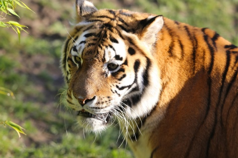 Amur Tiger2