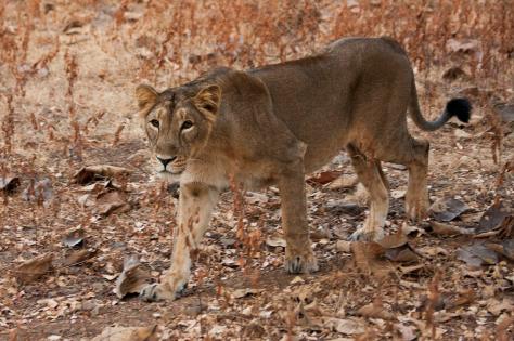 Asiatic Lioness