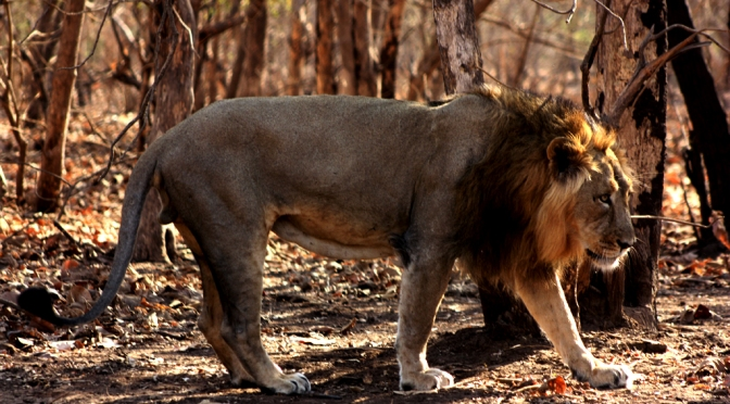 India's Asiatic Lion Population on the Rise