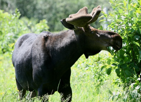Bull Moose Lunchbreak