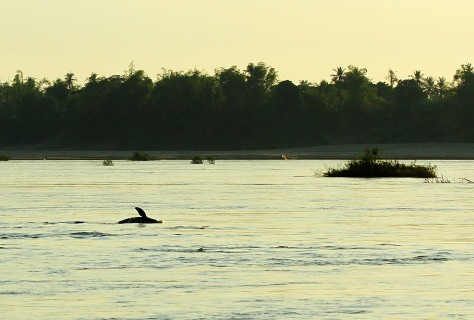 Mekong River Dolphin2