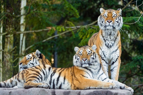 Three Amur Tigers