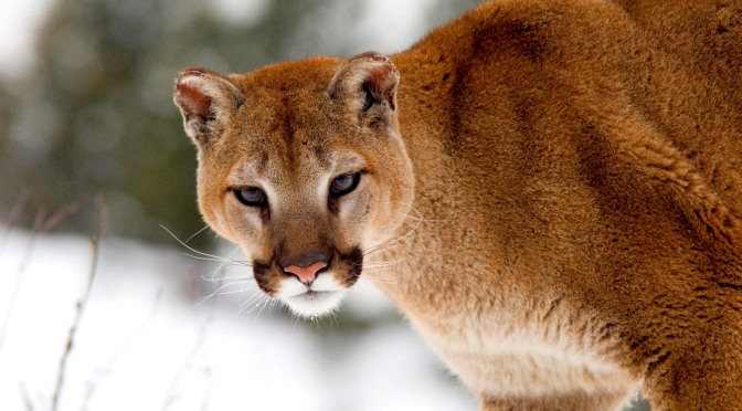 Extinct Eastern Cougar No Longer Needs U.S. Protection