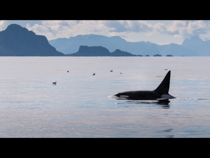 Happy World Orca Day!
