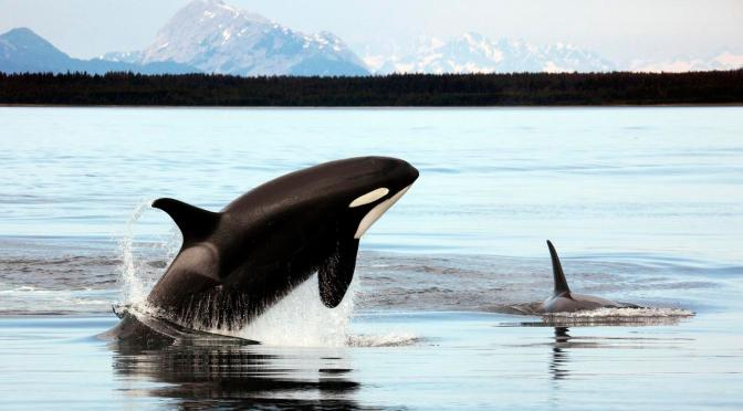 5 Fun Facts about Orcas for World Orca Day